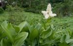Кукольник — трава от алкоголизма: применение и противопоказания