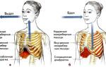 Дыхание и дыхательные мышцы: механизм вдоха и выдоха
